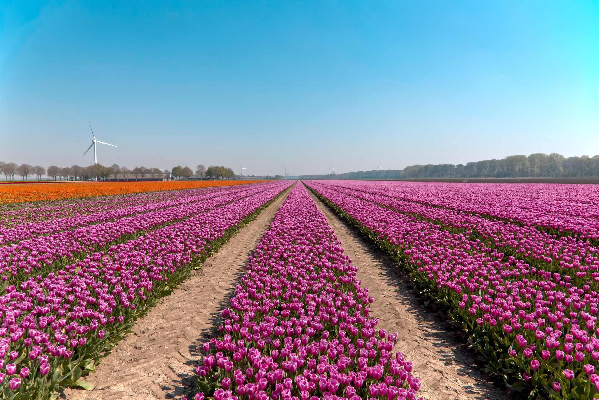 Le Flevoland : Royaume des tulipes hollandaises