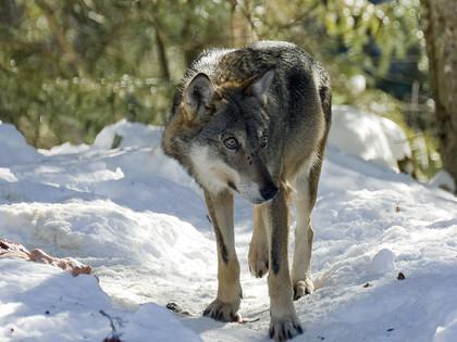 Maak kennis met de Wolves, wildlife safari in de Mercantours - 8J/7N